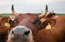 Prancūzijos ūkiuose – didžiausias per pastaruosius 20 metų juodligės protrūkis