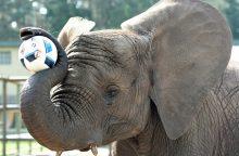 Aiškiaregė dramblė pranašauja Vokietijos pergalę pirmosiose futbolo rungtynėse