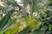 Botanikos sode lankytojus pasitinka pražydusi aukščiausia Lietuvoje palmė