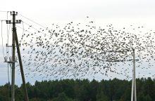 Išskrendantys paukščiai koreguoja energetikos operatorių dienotvarkę