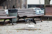 Varniniai paukščiai – galvos skausmas miestams?