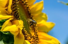 Estijoje sukėlė nerimą masinės bičių žūtys