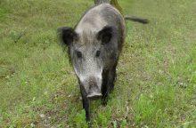 Per savaitę – 11 afrikiniu kiaulių maru užsikrėtusių šernų