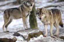 Vilkų padaryta žala šiemet padidėjo trečdaliu