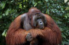Zoologijos sodo orangutanams kuriami vaizdo žaidimai