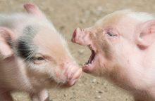 Kiaulienos kaina sugadins apetitą