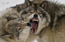 Įvardijo priežastis, kodėl žmonės iš tikrųjų bijo vilkų