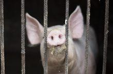 Buferinėje maro zonoje kiaulės turi būti paskerstos iki gruodžio 18-osios