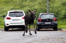 Kaip elgtis kelyje susidūrus su laukiniu gyvūnu?