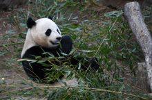 JAV zoologijos sodas atsisveikina su numylėtine